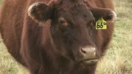 Stock Video Footage of Cow chewing cud 02