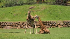 Giraffes Stock Footage
