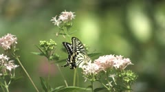 Citrus Swallowtail Butterfly (Papilio xuthus) - stock footage