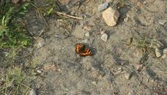 Small Tortoiseshell (Aglais urticae) Stock Footage