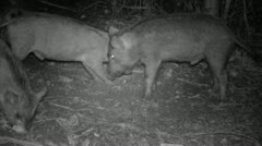 Feral Pig Fight Hawaii Stock Footage