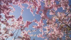 CU DS View of cherry tree during spring at Kungstradgarden / Stockholm Stock Footage
