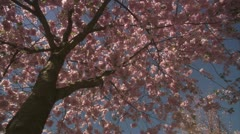 WS DS View of cherry tree during spring at Kungstradgarden / Stockholm - stock footage