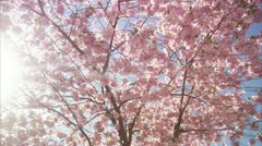 WS DS View of cherry tree during spring at Kungstradgarden / Stockholm Stock Footage