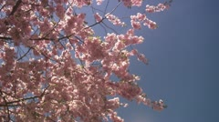 WS TD People walking around cherry tree at Kungstradgarden / Stockholm - stock footage