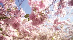 CU View of cherry tree during spring at Kungstradgarden / Stockholm Stock Footage