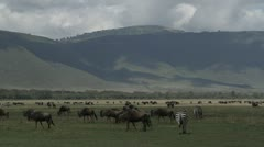 Wildebeest and zebras - stock footage