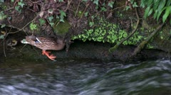 Ducklings trying to climb waterfall, Wesley Brook, Shropshire, England Stock Footage