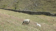 Sheep grazing in the Lake District Stock Footage