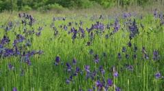Irises 3 Stock Footage