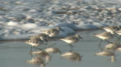Sanderlings (Calidris alba) Running on the Beach Stock Footage