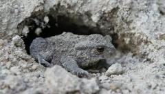 Common Toad Frog, Bufo bufo Stock Footage