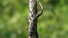 Big Whitespotted Sawyer Beetle female, Monochamus scutellatus Stock Footage