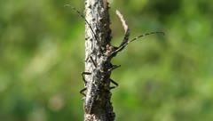 Whitespotted Sawyer Beetle sitting on a branch, Monochamus scutellatus Stock Footage