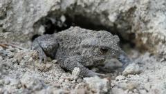 European Toad Frog, Bufo bufo Stock Footage