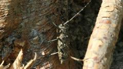Profile of Whitespotted Sawyer Beetle female, Monochamus scutellatus Stock Footage