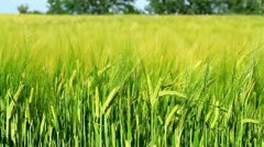 Cereal field Stock Footage
