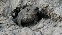 Common Toad Frog in defensive posture, Bufo bufo Stock Footage