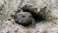 European Toad Frog sticking out of the hole, Bufo bufo Stock Footage