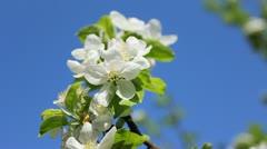 White Blossom Sky Background Stock Footage