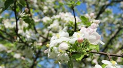 White And Pink Blossom Stock Footage