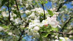 Blossom Focus To Tree Stock Footage