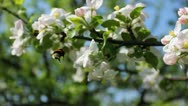 Bumblebee From One To Another Flower Stock Footage