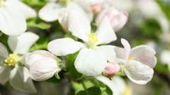 Focus On Blossom Stock Footage