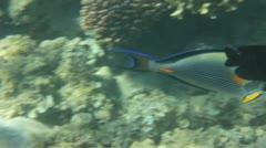 Surgeon-fish swiming under water among coral Stock Footage