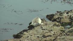 Sea Lion Carmel Stock Footage