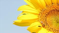 Bee on sunflower summer scene Stock Footage