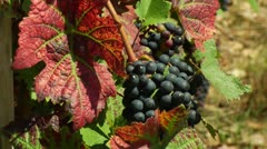 red wine grape and leave - stock footage