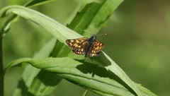 Chequered Skipper (Carterocephalus Palaemon) Stock Footage