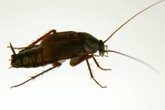 Cockroach on White - stock footage