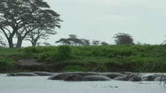 Hippos in rain. Stock Footage
