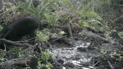 Feral Pig Hawaii - stock footage