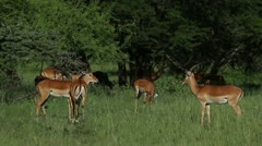 Herd of Impala in the open and under trees, flicking their tails Stock Footage