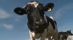 cow - stock footage