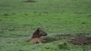 Hyena lying in a hole and flicking flies off its ears Stock Footage