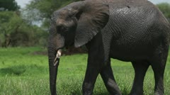 Elephant with broken tusks Stock Footage