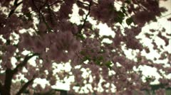 Cherry-trees in Stockholm Stock Footage