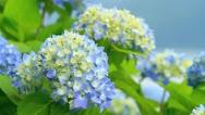 Hydrangea flowers. Stock Footage