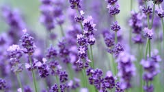 Close up of violet lavenders flowers. Stock Footage