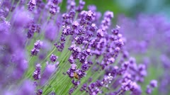 Honeybee collecting nectar on lavender. Stock Footage