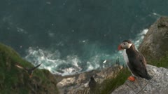 Puffins Stock Footage