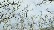 Flock of Frigate birds and Vulture flying overhead Stock Footage