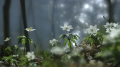 Wood anemones by the sea, Stockholm Stock Footage