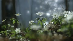 Wood anemones by the sea, people passing by Stock Footage