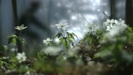 Wood anemones by the sea, a cyclist passing by Stock Footage