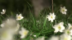 Wood anemones, Stockholm Stock Footage